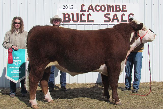 Lamport's Polled Herefords